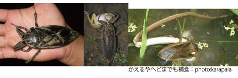 タガメ・カエルヘビ