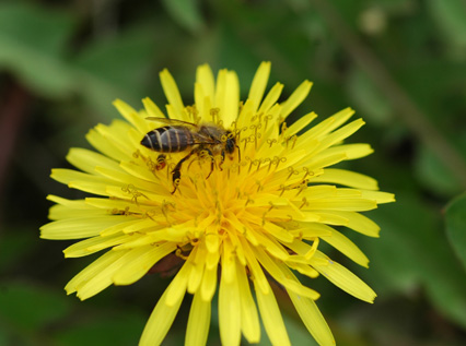 二ホンミツバチ (トウヨウミツバチ日本亜種) (Apis cerana japonica)